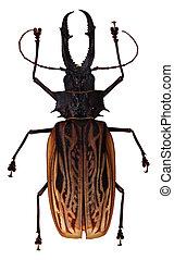 ciervo, no identificado, escarabajo