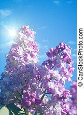 cieux bleus, naturel, lilas, résumé, arrière-plans, sous, fleurs