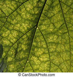 Cigar tree, Catalpa speciosa - Catalpa speciosa, Northern ...
