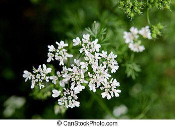 cilantro, bloem