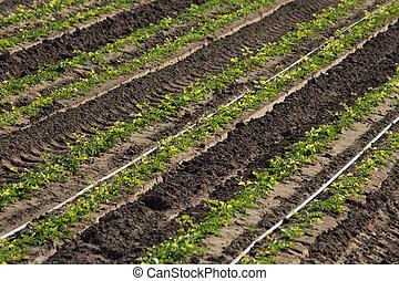 Cilantro crop up close
