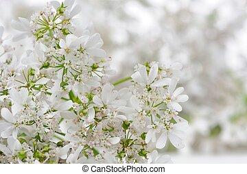 cilantro, gros plan, fleurs, blanc