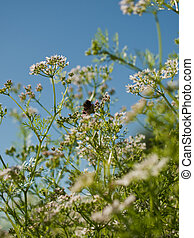 Cilantro in Bloom - Cilantro's flavor is described by some...