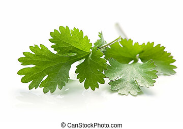 Cilantro or coriander leaves, casting natural reflection over white.