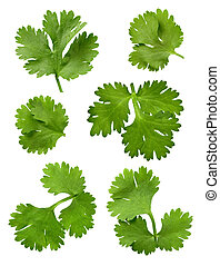Cilantro Parsley isolated on a white background