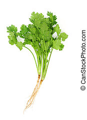 Cilantro with roots isolated on white