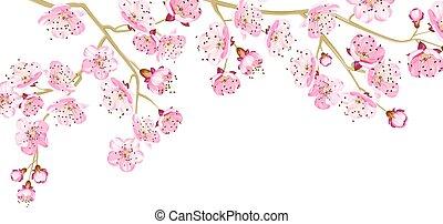 ciliegia, blossom., scheda