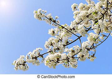 ciliegia, fiore