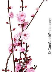 ciliegia fiorisce, azzurramento
