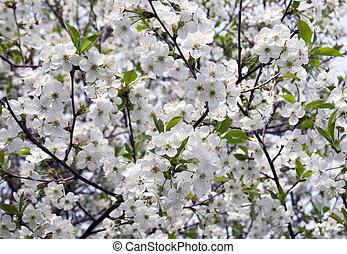 ciliegia, fioritura
