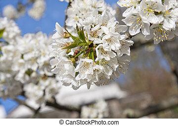 ciliegia, fioritura, fiori, albero, primavera