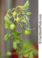 ciliegia, vite crescendo, verde, piccolo, pomodori