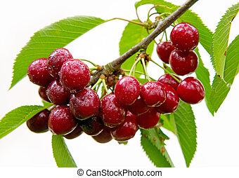 ciliegie, appendere, uno, albero ciliegia, branch.