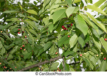 ciliegie, appendere, uno, albero ciliegia, ramo