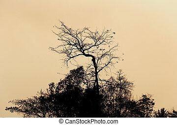 cima albero, silhouette, evening.
