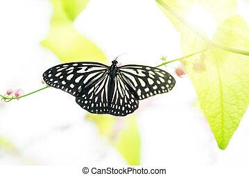 cima, borboleta