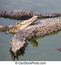 cima, crocodilo