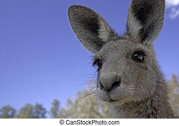 cima, de, canguru