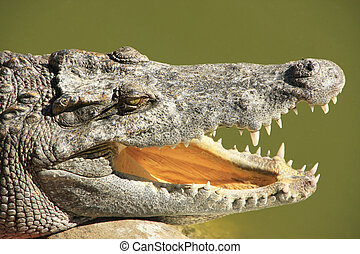 cima, de, crocodilo