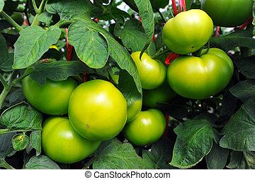 cima, de, tomates frescos