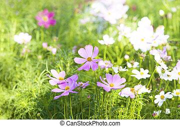 cima, de, violeta, cosmos, flores, em, campo verde, com, espaço cópia