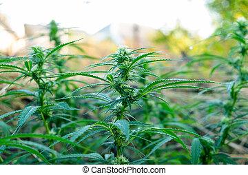 cima, florescer, marijuana, fim, planta, broto, cannabis