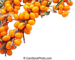 cima, marco, de, rama, de, naranja fresca, sea-buckthorn,...