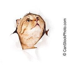 cima, rasgado, isolado, gato, olhar, papel, buraco, lado