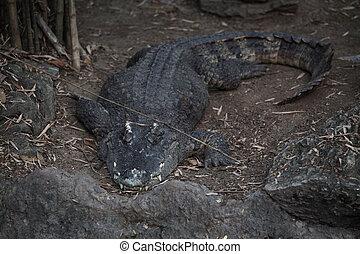 cima, sal, crocodilo