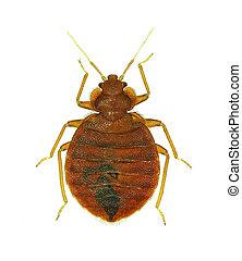 (cimex, lectularius), bedbug