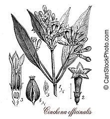 Cinchona officinalis, botanical vintage engraving
