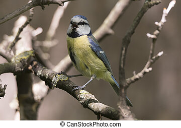 cinciarella blue tit bird on tree