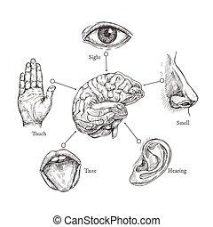 cinco, human, senses., esboço, boca, e, olho, nariz, e, orelha, mão, e, brain., doodle, parte órgão, vetorial, jogo