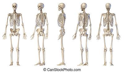 cinco, humano, macho, lleno, figure., esqueleto, views.