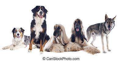 cinco, perros