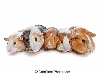 cinco, porcos guinea