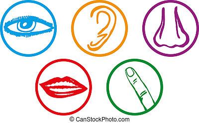 cinco sentidos, ícone, jogo, -, vetorial, ilustração