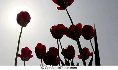 cinemagraph, bleu, lent, wind., tulipes, -, contre, mouvement, en mouvement, photo., ciel rouge
