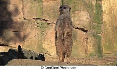 Cinemagraph of an alert meerkat ,Suricata suricatta,...