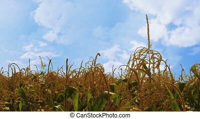 Cinemagraph of corn field with moving white clouds on blue sky