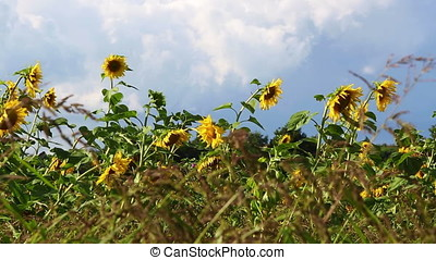 Cinemagraph of sunflowers on a meadow