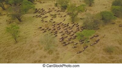 Cinematic Aerial View of Wildebeest Herd in Savanna of National Park in Tanzania