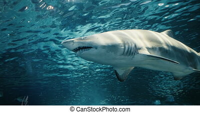Cinematic portrait of a passing shark - Crystal clear and...