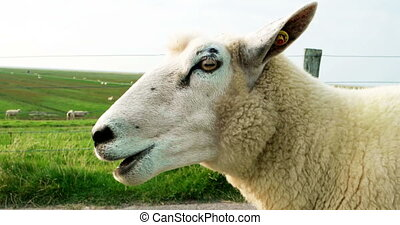 Cinematograph of a Sheep on a Dike