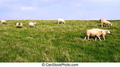 Cinematograph of Sheep on a Dike