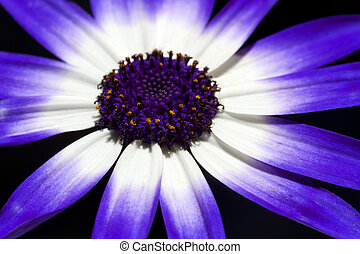 Extreme macro of purple variety of Cineraria flower.