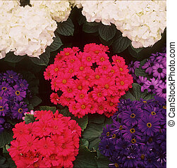 Variety of Cineraria flower colors. Taken at the Como Conservatory- St.Paul, MN.