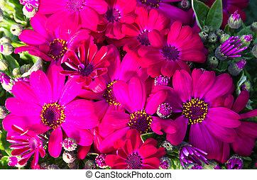 cineraria, maritima, fleurs, fleur, rouges