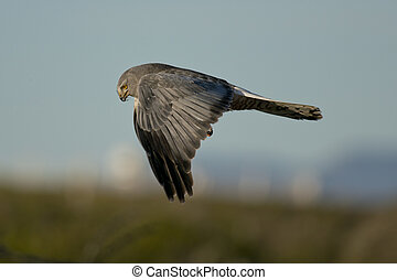 Male cinereous harrier flying in the blue sky, over the Laguna Nimez in Patagonia, Argentina