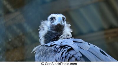 Cinereous Vulture with wings spread Vulture European Black...